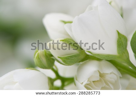 Beautiful White Jasmine Flowers Macro - stock photo