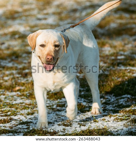 Beautiful White Labrador Retriever Lab Dog Staying Outdoor In Spring - stock photo