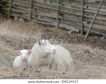 Beautiful white lamb and the mother sheep laying down in the pasture, old fence in the background - stock photo