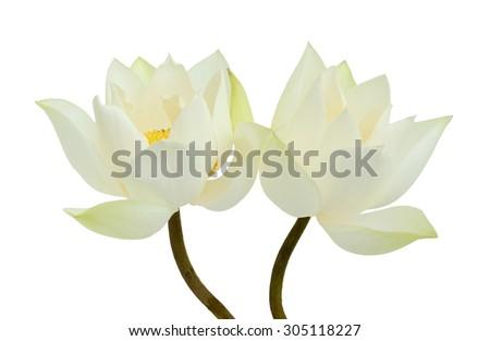beautiful white Lotus flower - stock photo