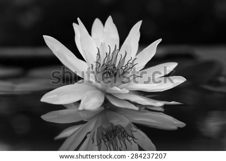Beautiful white lotus in the pond;black and white style - stock photo