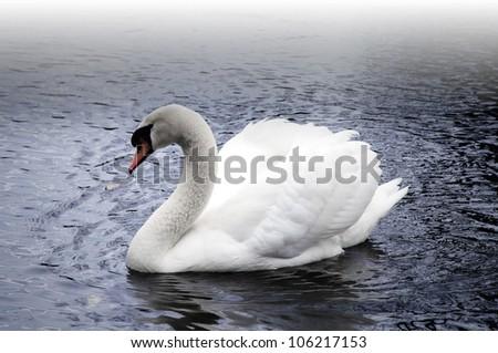 Beautiful white mute swan on a foggy lake. - stock photo