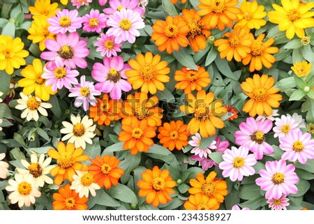 Beautiful white Narrowleaf Zinnia or Classic Zinnia flowers, background. - stock photo