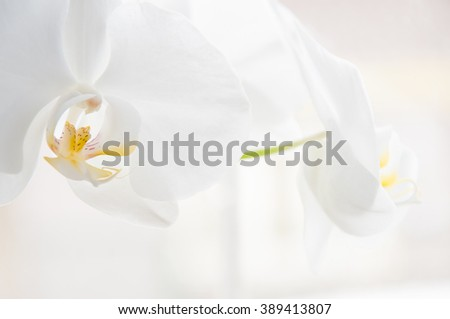 Beautiful white orchid flowers close up image with yellow pistils on isolated white backround - stock photo