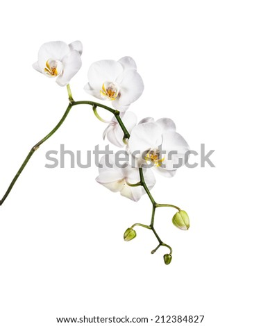 Beautiful white orchid flowers isolated on white background. Clipping path included. - stock photo