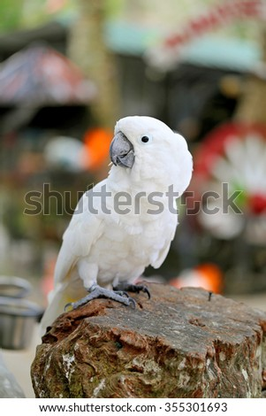 Beautiful white parrot cockatoo photographed close up - stock photo