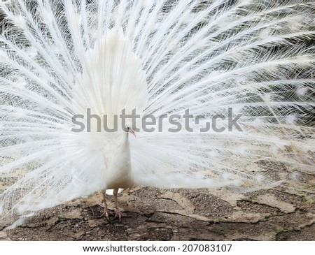 Beautiful white peacock demonstrates his open tail - stock photo