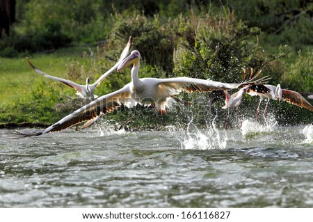 Beautiful white Pelicans taking flight - stock photo