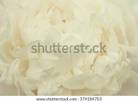 beautiful white peony  - stock photo
