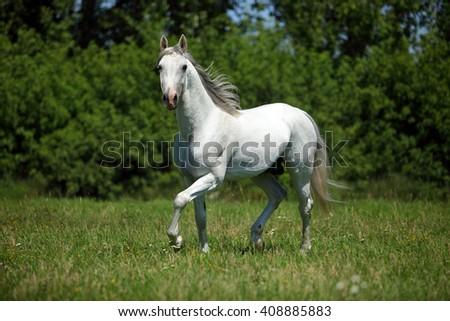 Beautiful white purebred horse in farm - stock photo