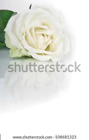 Beautiful white rose on white background - stock photo