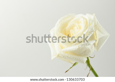 Beautiful white rose with drops of water on its petals - stock photo