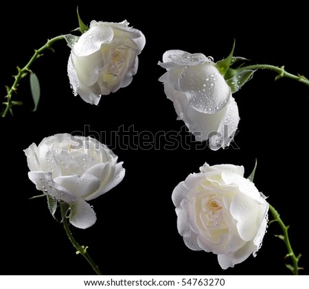 beautiful white roses on a black background - stock photo