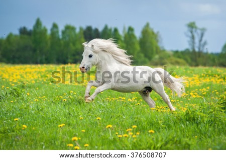 Beautiful white shetland pony running on the field with dandelions - stock photo