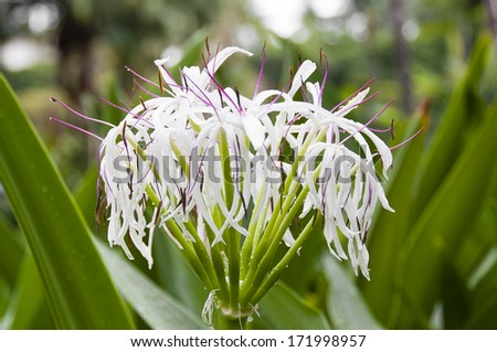 African Spider Lily Beautiful White Spider Lily in