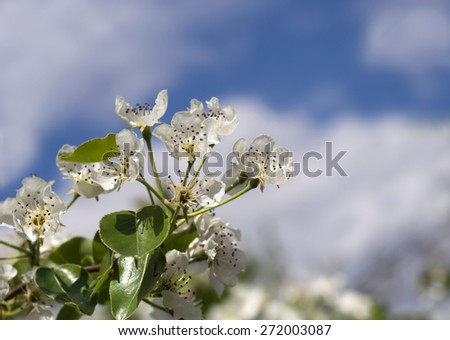 Beautiful white Spring flowers with blue sky - stock photo