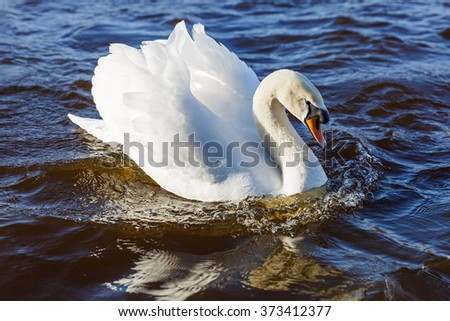 Beautiful white swan floating on the river - stock photo
