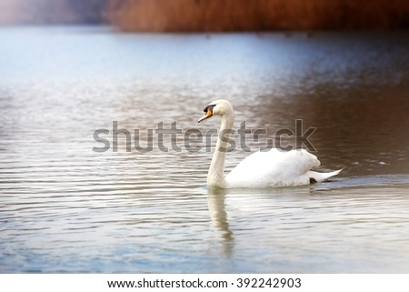 Beautiful White Swan swimming  - stock photo