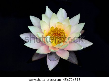 Beautiful white water lily with hints of yellow and orange against black background - stock photo