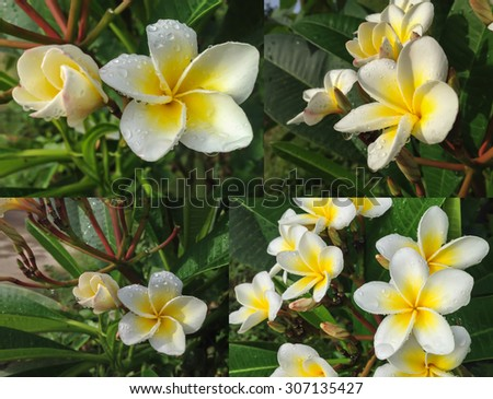 beautiful  white yellow flower plumeria bunch with dewdrop in fresh morning light  - stock photo