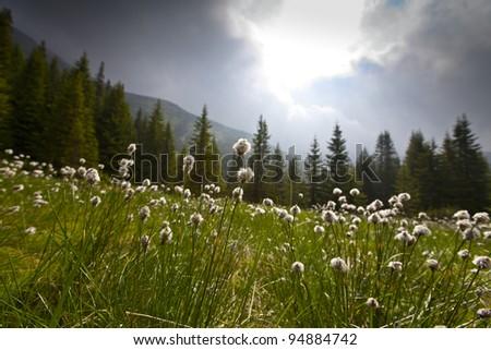 Beautiful wild flowers in alpine environment - stock photo