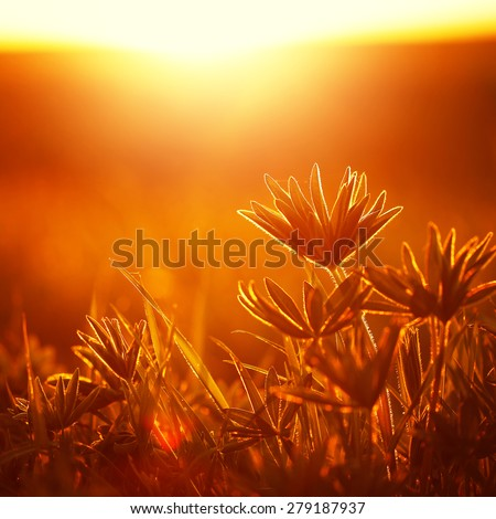 beautiful wild flowers in field at sunrise. Sunny nature photo - stock photo