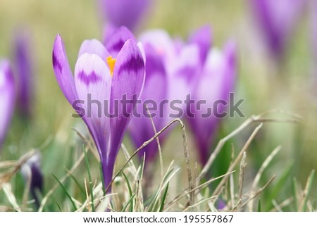 beautiful  wild flowers of spring, crocus sativus, wild purple saffron - stock photo