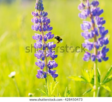 Beautiful wild lupinus flowers with flying bumblebee. Background with blue or violet flowers and insect - stock photo