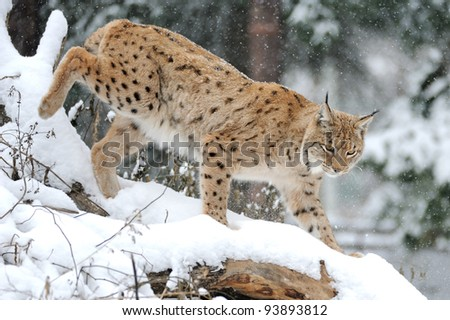 Beautiful wild lynx in winter - stock photo