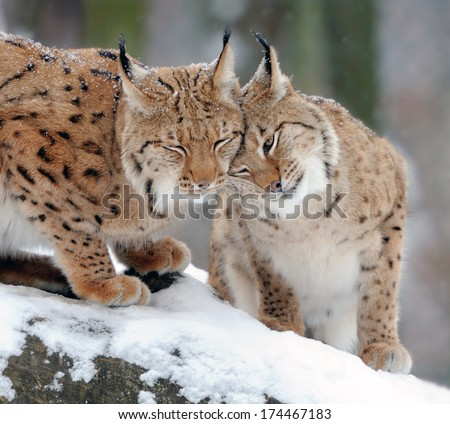 Beautiful wild lynx in winter day - stock photo