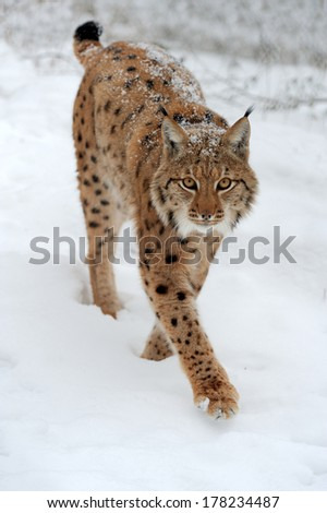 Beautiful wild lynx in winter day - stock photo
