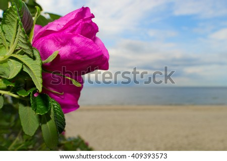 Beautiful wild rose (rosa canina) blooming at the seaside, with rain water drops on petals. Selective focus, blurred background. Baltic sea shore, Pomerania, Poland. - stock photo