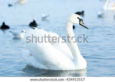 Beautiful wild swans, ducks and gulls float near the Black Sea coast. Wild Swans in autumn waiting for food from the children and tourists. - stock photo
