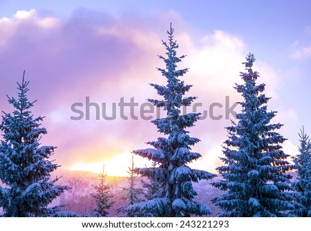 Beautiful winter landscape, high magnificent fir trees covered with fresh white snow in mild sunset light, beauty of wintertime nature - stock photo
