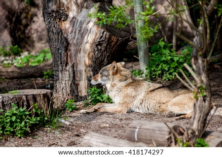 Beautiful wolf resting on a rock in a spring forest - stock photo