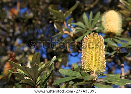 Beautiful yellow Banksia flowers surrounded by green leaves - stock photo