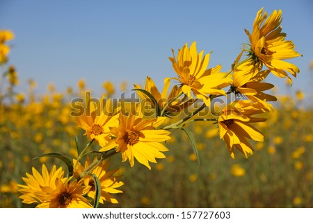Beautiful yellow Bur-Marigolds (Bidens laevis) in field against blue sky. - stock photo