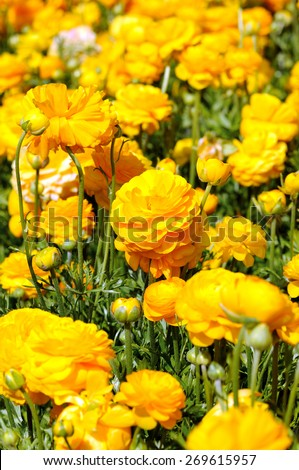 beautiful yellow  buttercup  flowers on a field - stock photo