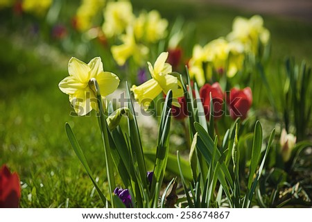 Beautiful yellow daffodils  in the garden at spring time - stock photo