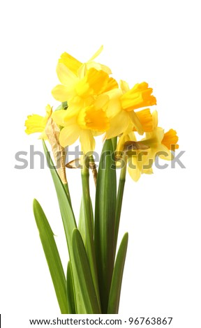 beautiful yellow daffodils isolated on white - stock photo