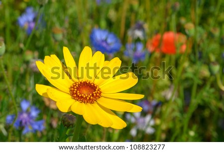 Beautiful yellow Daisy with Cornflowers and Poppies in backround - stock photo