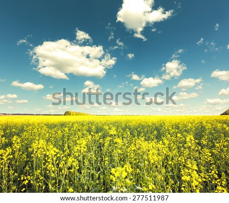 Beautiful yellow field with blue sky - stock photo