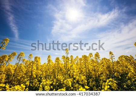 Beautiful yellow field with blue sunny sky - stock photo