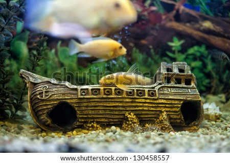 Beautiful yellow fishes float in a glass aquarium - stock photo