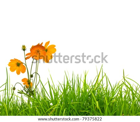 Beautiful yellow flower (Cosmos) and fresh spring green grass isolated on white background with copy-space. - stock photo