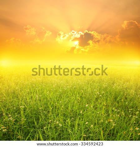 Beautiful Yellow Flower fields and Sunset for background - stock photo