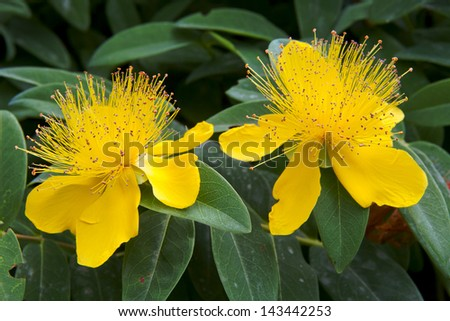 beautiful yellow flowers blooming Hypericum close-up - stock photo