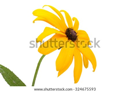 Beautiful yellow garden flower, isolated on white background. Close-up. - stock photo