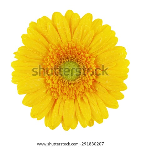beautiful yellow gerbera flower, isolated on white - stock photo