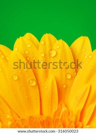 beautiful yellow gerbera flower petals on green background - stock photo